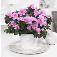 Beautiful Azalea in Classic White Pot bursting in to bloom