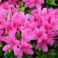 Azalea japonica Anouk - Evergreen Pink Azalea
