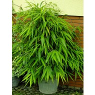 Pseudosasa japonica - Arrow Bamboo - 100-120cm tall Plants