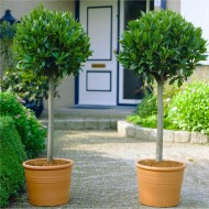 Pair of 80-100cm tall Standard Bay Trees - Laurus nobilis