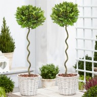 Pair of Corkscrew Standard Lollipop Spiral Bay Trees - Laurus nobilis Twisted Stem