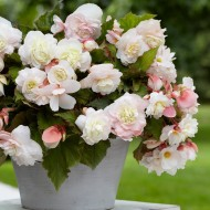 Aromatic Scented Cascading Angelique Begonias - Pack of Two