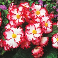 SPECIAL DEAL - Begonia Crispa Marginata White and Red - Pack of THREE