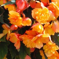 Begonia Illuminating Apricot Shades - Pack of THREE