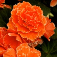 Begonia Picotee Lace - Pack of THREE