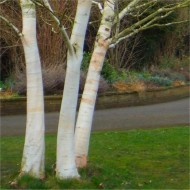 Betula utilis jacquemontii - West Himalayan Birch Tree - Large 220 to 280cms Specimen
