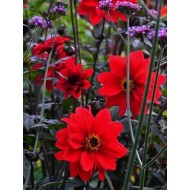 Dahlia Bishop of Llandaff - Red Flowering Bronze Leaved Dahlia Plant