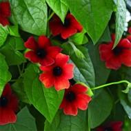 Black Eyed Susan - Thunbergia Arizona Red