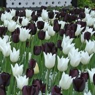 Tulip Black & White Designer Collection - 'Monochrome' - 100 Bulbs