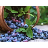 SPECIAL DEAL - Blueberry Plants (Vaccinium corybosum) for the Patio or Garden - Pack of THREE Plants