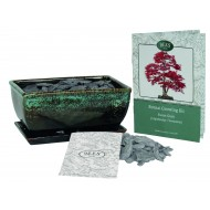 Grow Your Own Bonsai Tree Sweet Gum