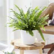 SPECIAL DEAL - Boston Fern in White Display Pot