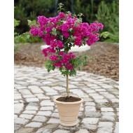 Bougainvillea Patio Tree in Bud & Bloom