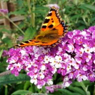 Buddleja - Berries & Cream - New Buddleia Butterfly Bush with multi-shaded flowers - LARGE PLANT