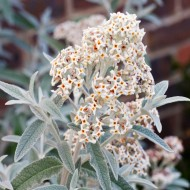 Buddleja Morning Mist - Silver Anniversary Buddleia - LARGE SPECIMEN