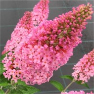 WINTER SALE - Buddleja davidii Pink Panther - Buddleia - Butterfly Bush