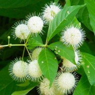 Cephalanthus occidentalis - Button Bush