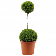 Duo Ball Buxus Topiary - Specimen Plant