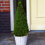 Premium Quality Topiary Buxus PYRAMID - Large 90-110cm