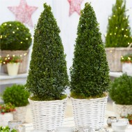 Pair of Buxus Pyramids in Festive Baskets
