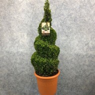 Spiral Topiary Buxus - Corkscrew Box wood Tree - Circa 80cms