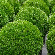 SPECIAL DEAL - PAIR of Topiary Buxus BALLS - Stylish Contemporary Box Ball PLANTS - LARGE