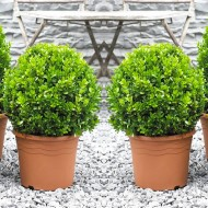 SPECIAL DEAL - PAIR of Topiary Buxus BALLS - Stylish Contemporary Box Ball PLANTS - SMALL