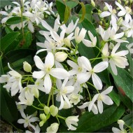 Clematis armandii - Fragrant Evergreen Spring Flowering Clematis - Pack of TWO Plants