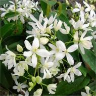 Clematis Armandii - Large 6-7ft Specimen Plant - Fragrant Evergreen Climber