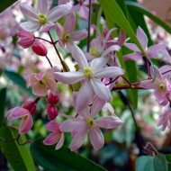 Clematis armandii Apple Blossom - Scented Evergreen Spring Flowering Clematis