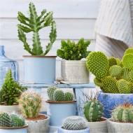 Pack of THREE Cactus Plants in Assorted Cacti varieties