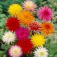 Dahlia Cactus Mixed - Pack of THREE