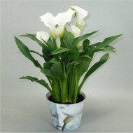 Beautiful Calla Lily in Bud in Gold Pot