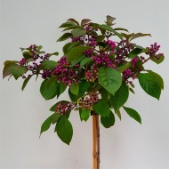 WINTER SALE - Callicarpa bodinieri Autumn Glory - Large 150cm Standard Tree