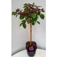 Callicarpa bodinieri Profusion - Patio Standard Tree