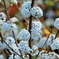 WINTER SALE - Callicarpa bodinieri Snow Queen - White Beauty Berry