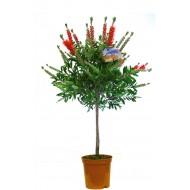 Callistemon Standard - Red Australian Bottle Brush - LARGE Patio Tree 120-140cms