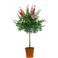 Patio Standard Callistemon Tree - Red Australian Bottle Brush Tree