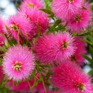 Callistemon Hot Pink - Bottlebrush