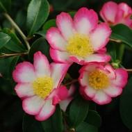Camellia sasanqua Rainbow - Autumn Flowering Camellia