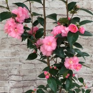 Camellia Spring Festival - Pink Blooming Evergreen - approx 80-100cm tall full of bud