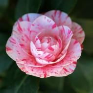 Camellia William Bartlett