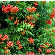 Campsis radicans Flamenco - Trumpet Vine - Large 6ft Specimen