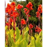 Canna Pretoria - Amazing Multicolour Foliage Bengal Tiger Canna Plant