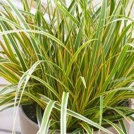 Carex oshimensis Evercolour 'Everglow'