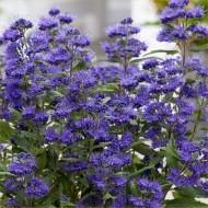 Caryopteris × clandonensis 'Grand Blue'