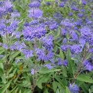 SPECIAL DEAL - Caryopteris x clandonensis Heavenly Blue - Bluebeard