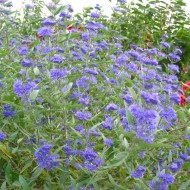 Caryopteris clandonensis Kew Blue