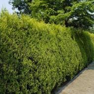 Gold Leylandii - Castlewellan Gold Leyland Cypress - Cuprocyparis leylandii - Pack of TEN 2-3ft Hedging Conifers