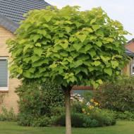 Catalpa Bignonioides Nana - Indian Bean Tree